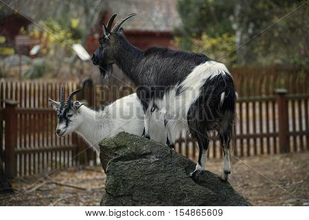 2 goats has climed up on a rock. A blurry background with a fence and a house.