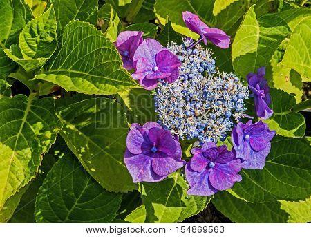 The beautiful purple Hydrangea plant, Macrophylla Teller