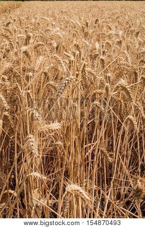 The wheat crop in North Kent farmland