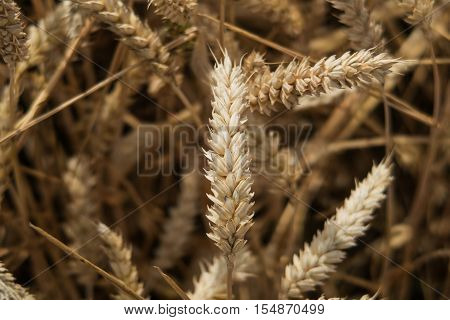 Close up view of an ear of Golden Wheat