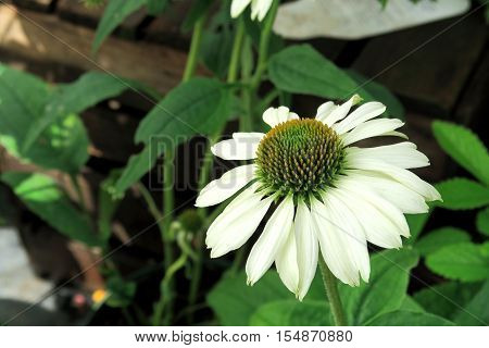 A close up view of Echinacea Purpurea also known as white swan