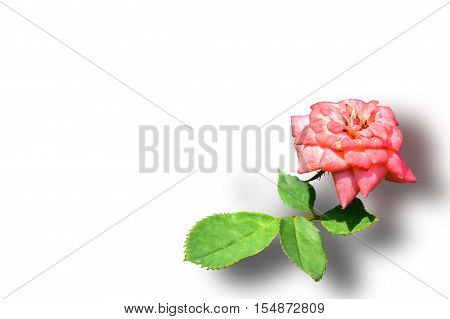 Roses on white color background. can be used as greeting card,invitation card for wedding.