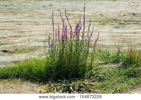 Beautiful purple loosestrife in a nature background