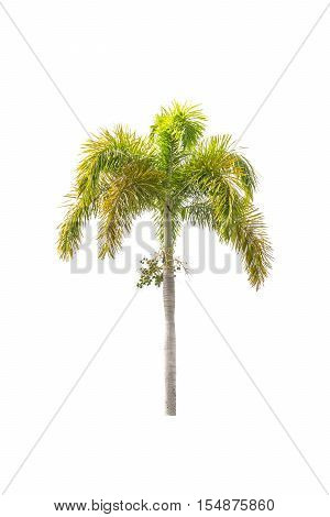 Foxtail palm tree isolated on white background.