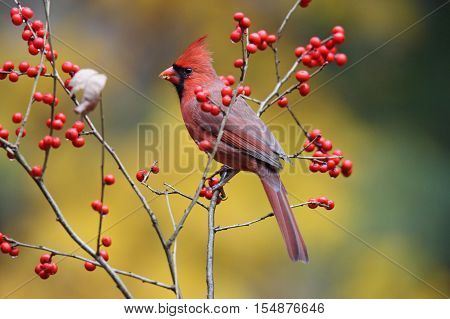 A male Northern Cardinal (Cardinalis cardinalis) perching on winterberry