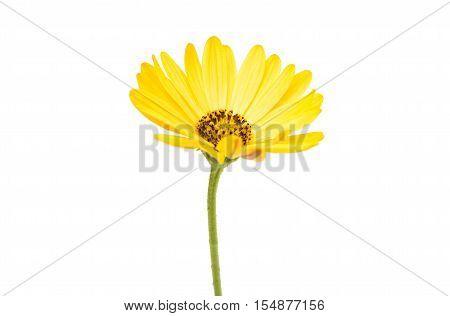 Yellow Osteospermum Flower Daisy Isolated on White Background. Macro Close Up