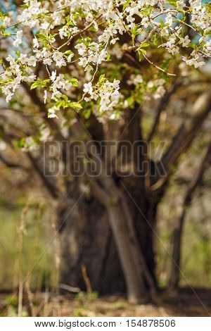 Branches of blooming spring sakura cherry tree with white flowers blurry background with copyspace for text