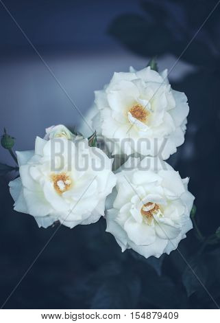 Beautiful fairy dreamy magic white beige creamy roses flowers on faded blurry green blue background toned with filters in retro vintage style with film effect soft selective focus