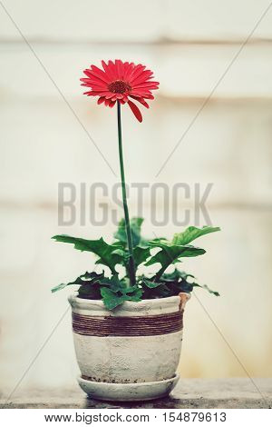 One red gerber plant with green leaves in white stone ceramic old aged flower pot toned with  filters blurry background
