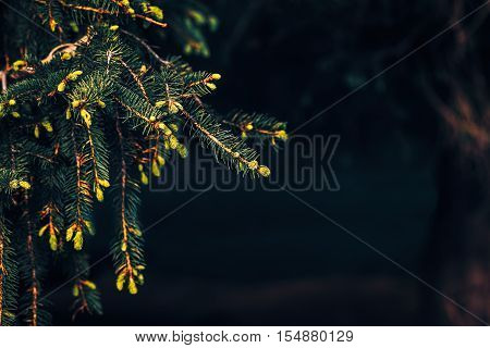 Green pine tree branches with needles and cones background dark low key mood toned with filters copyspace for text