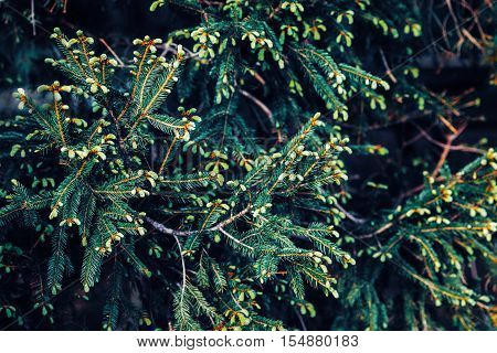 Green pine tree branches with needles and pine cones textured background dark low key mood toned with filters film effect