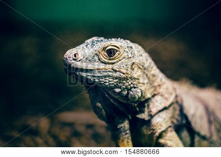 Closeup portrait of green American common iguana in zoo arboreal species of lizard reptilia