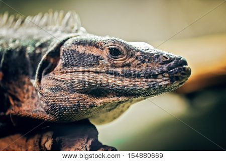 Closeup portrait of iguana on a tree in zoo arboreal species of lizard reptilia