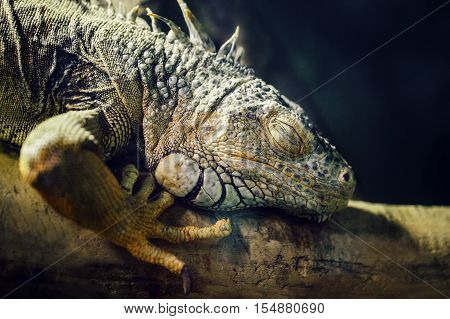 Closeup portrait of green American common iguana sleeping on a tree in zoo arboreal species of lizard reptilia
