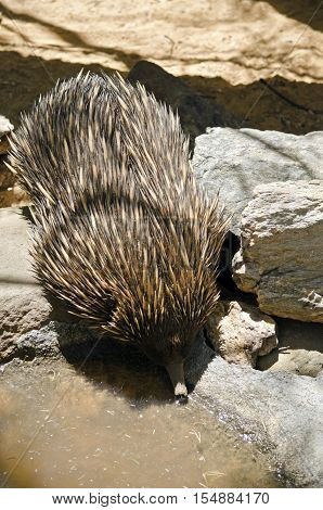 the echidna is drinking from the edge of a pond