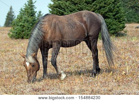 Wild Horse - Sooty colored Palomino Stallion grazing in the Pryor Mountain Wild Horse range in Montana US of A