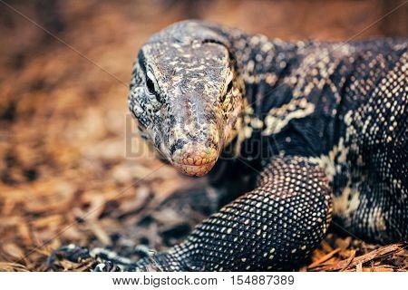 Closeup portrait of large lizard iguana in zoo arboreal species of lizard reptilia