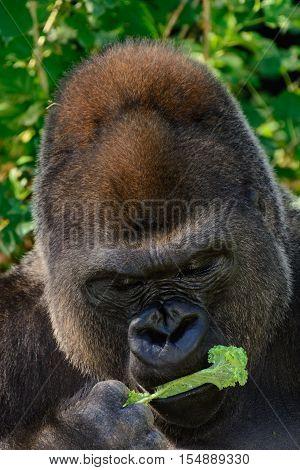 Male Silverback Western Lowland Gorilla