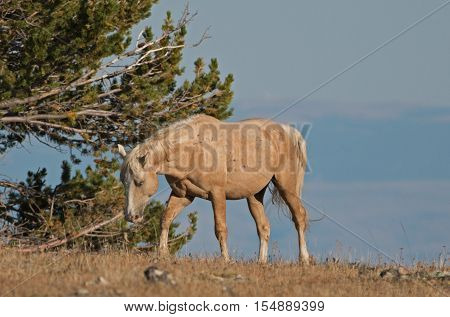 Palomino colored Wild Horse Band Stallion in the Pryor Mountain Wild Horse range in Montana US