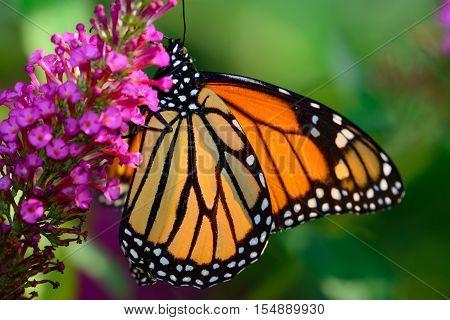 Monarch (Danaus plexippus) Backlit by the sun