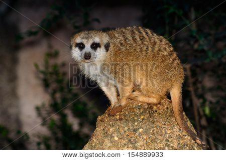 Meerkat (Suricata suricatta) Standing on a rock