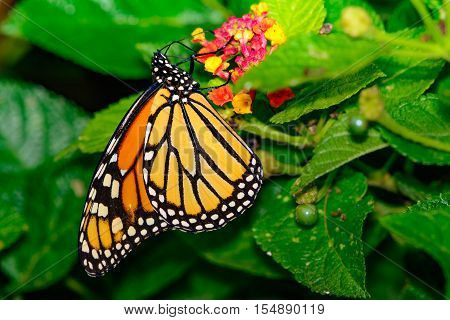 Monarch Butterfly (Danaus plexippus) On Lantana flowers with green follage and berries.