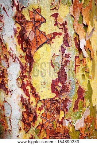 Closeup macro shot of yellow green red colorful bark of an old tree sycamore
