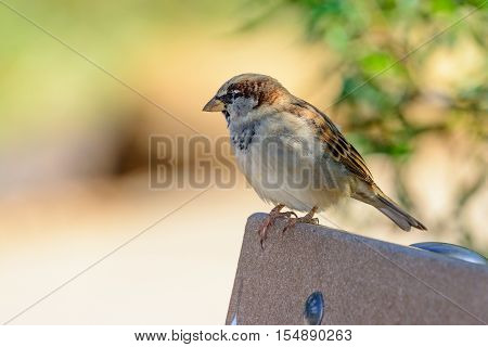 Male House Sparrow (Passer domesticus ) on a park bench