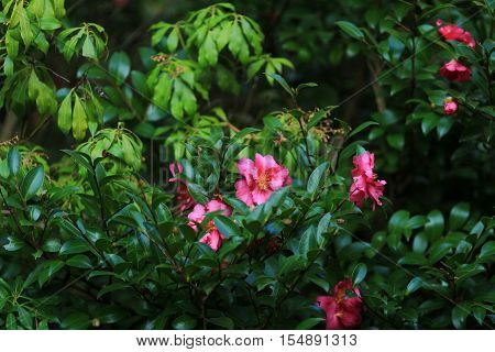 the Camellia japonica  at 2014 japan kyoo