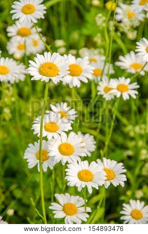 Daisy Flowers On A Summer Morning