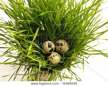 Quail Eggs In The Grass Nest