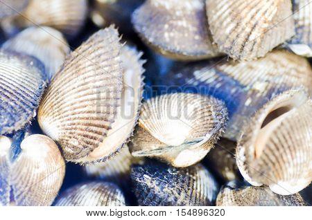 ark shellAnadara inaequivalvis or scallop for sell