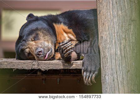 a malayan sun bear or honey bear sleeping