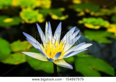 Close up small blooming white lotus in the pond