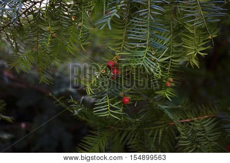 close-up of branches of a yew with red berries