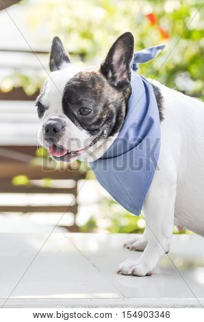 absent-minded French bulldog or open the mouth French bulldog