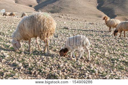 herd of sheep at Kidron Valley, Israel
