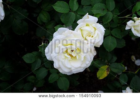 Close up view of White rose heads