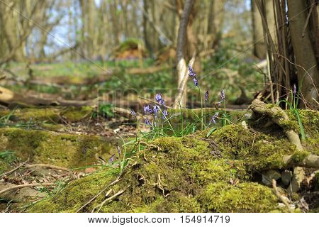 A close up of a beautiful bluebell (Hyacinthoides non-scripta,) in the woodlands