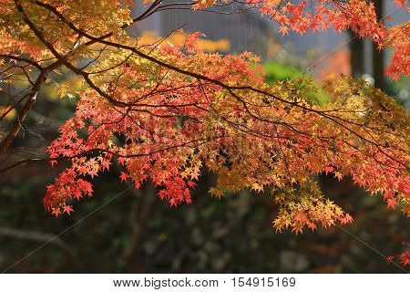 Fall. Autumn at Yasehieizanguchi japan at 2014