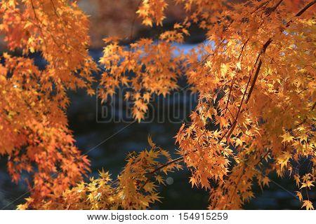 Fall. Autumn at Yasehie izanguchi japan