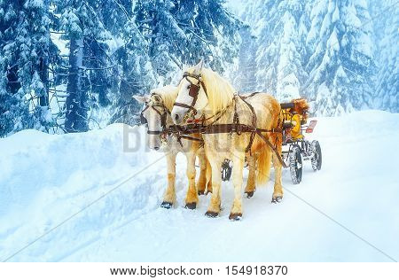 two beautiful white horses in mountain winter landscape