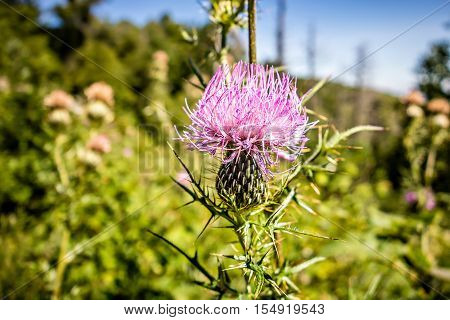 Field with Silybum marianum (Milk Thistle) Medical plants in mountains