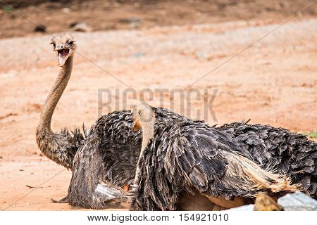 Struthio camelus The ostrich is the world's largest bird species