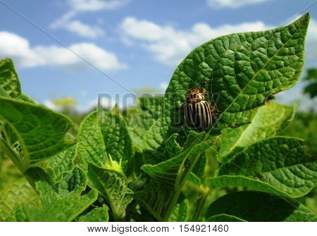Closeup of Colorado potato beetle (potato bug) on the potato leaf