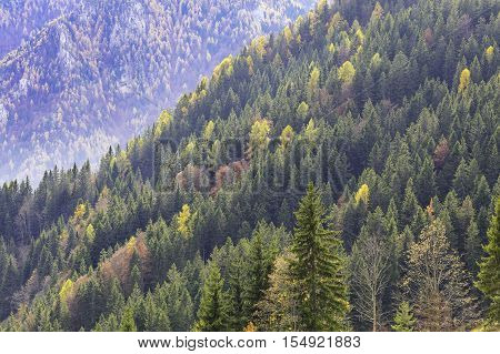Unspoilt mixed forest with beautiful yellow and orange larches. Healthy autumn forest in the national park. Colorful wood.