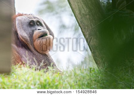 Bornean Orangutan (Pongo pygmaeus) relaxing and tired