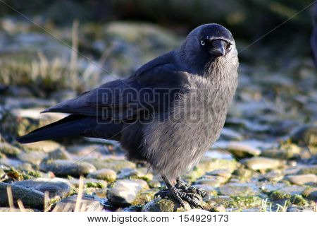 A Jackdaw with fluffed up chest feathers