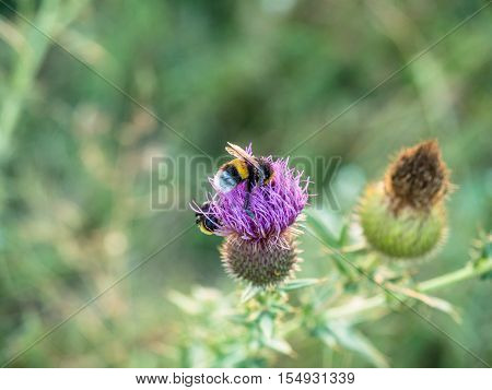 Close-up bumblebee on a thistle flower on green blurred field background. Macro shot how Bumblebee finding nectar on thistle plant.