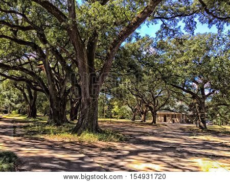 live oak trees in a southern park